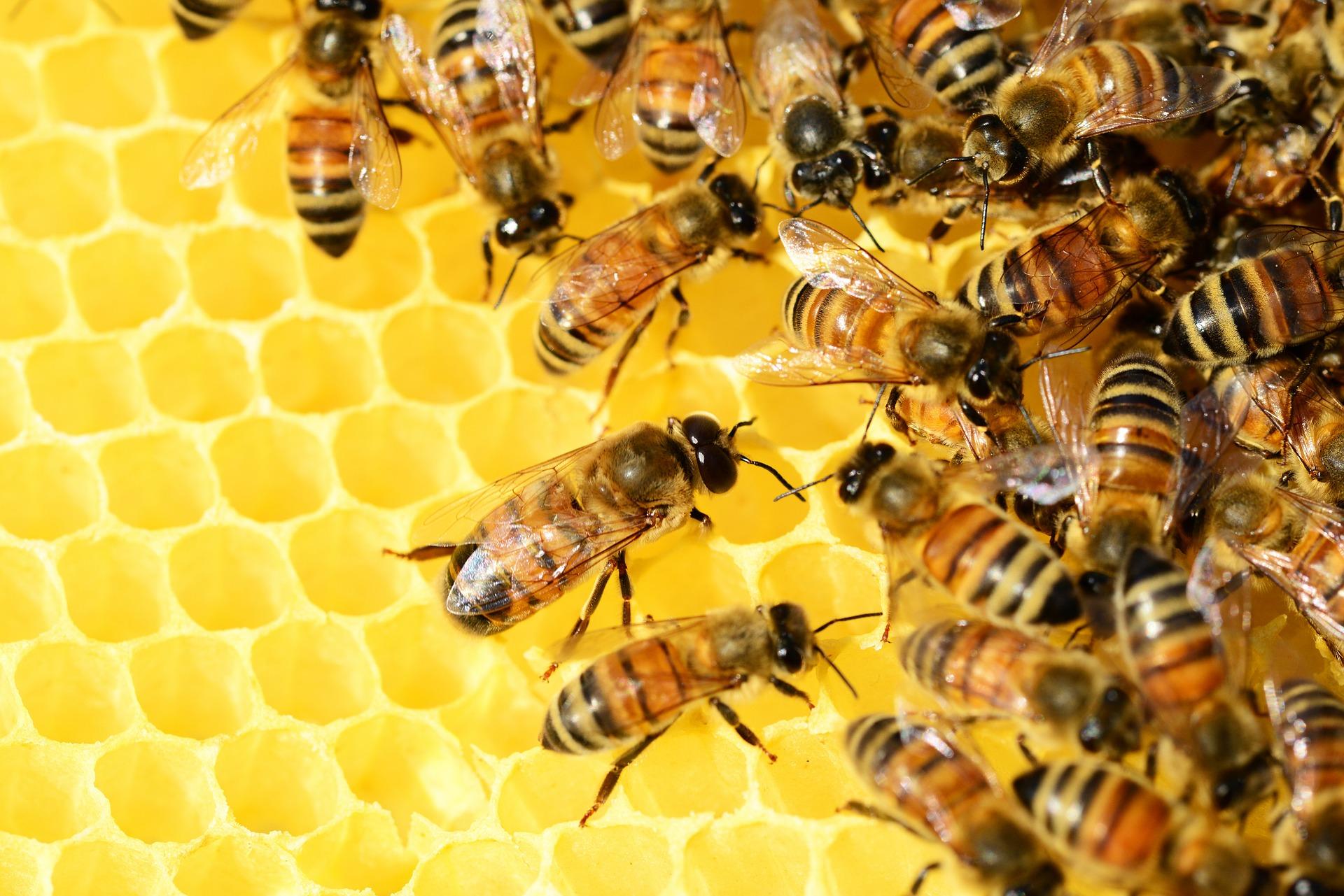 honey bees 326337 1920 - INTRO TO BEEKEEPING WORKSHOP